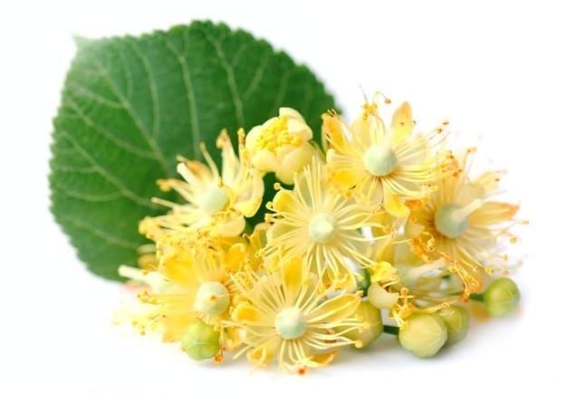 kwiat lipy w składzie cardioactive obniża ciśnienie